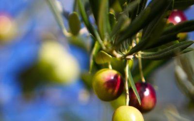 Olives 425
